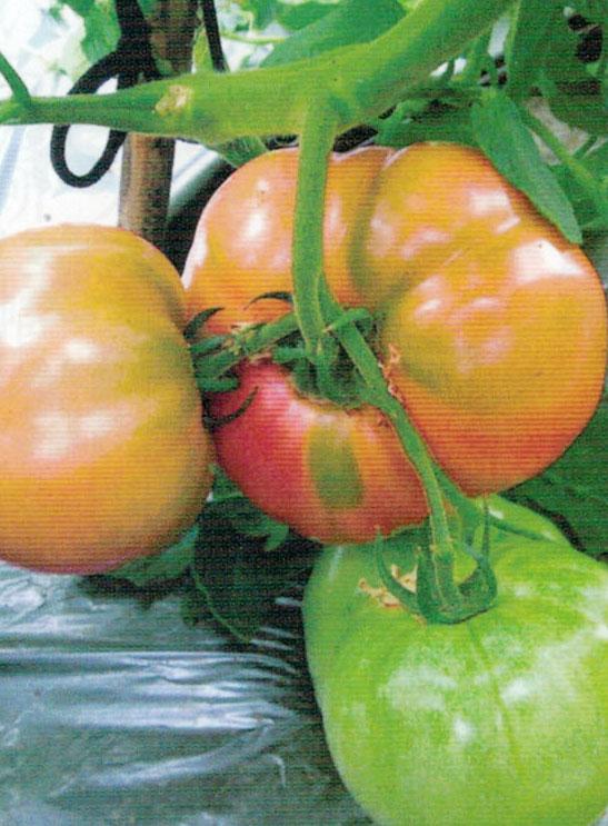 HB-101でおいしいトマトが出来ます。