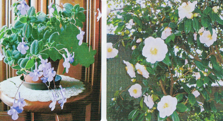 HB-101のおかげでストレプトカーパスが綺麗な花を咲かせてくれました。