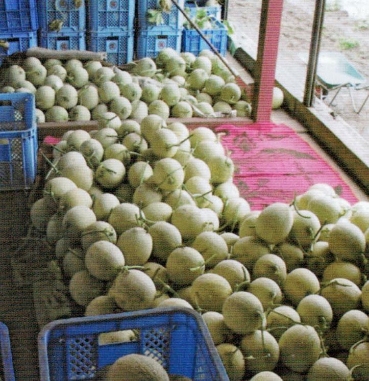 HB-101で糖度が上がり、収穫量が増えます。