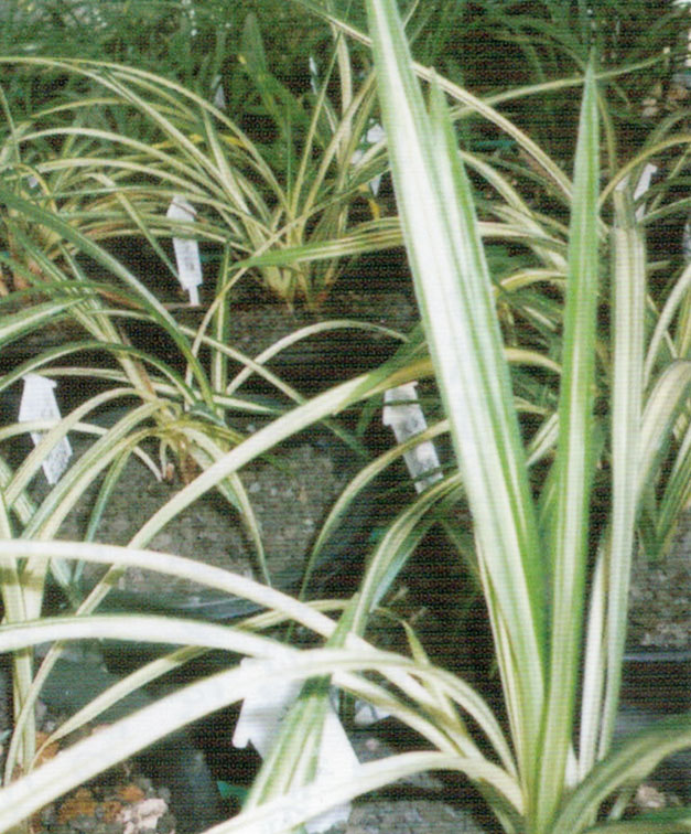 HB-101で光沢があり元気に育つランの苗です。