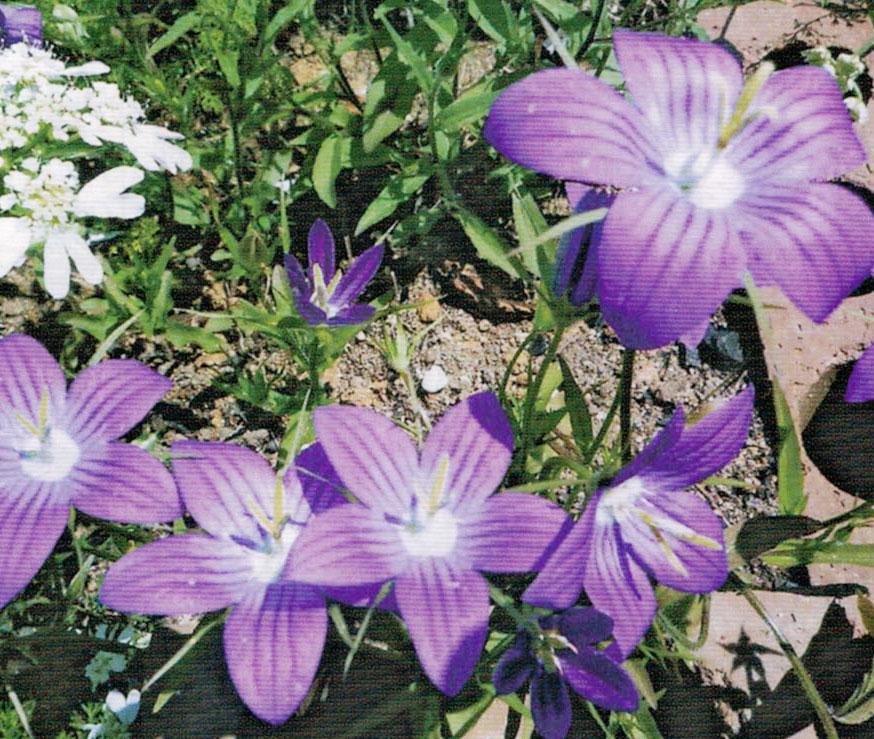 寒色系の花が大好きです。HB-101を使用すると、ポット上げする時も安心です。