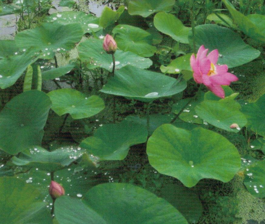 HB-101と顆粒HB-101を使ってみたらたくさんの蕾と見事な花が咲き、ビックリしました。