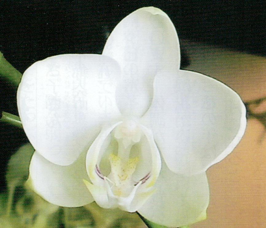 今年最初の胡蝶蘭です。HB-101のおかげで見事に開花しています。