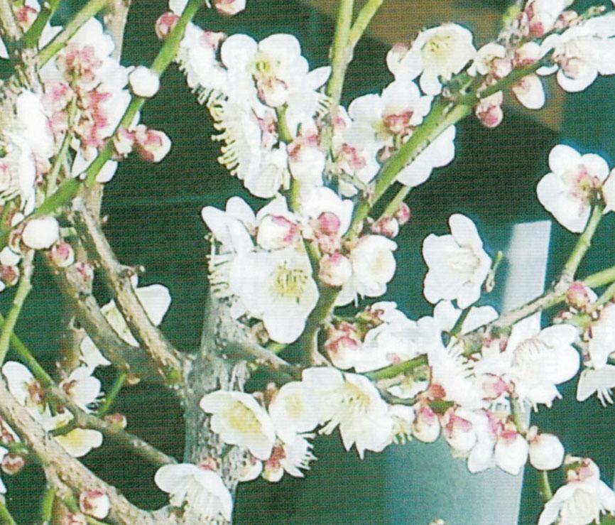 HB-101で昨年の倍以上の開花が実現しました。(鉢植えベランダ栽培で品種は梅郷です。)