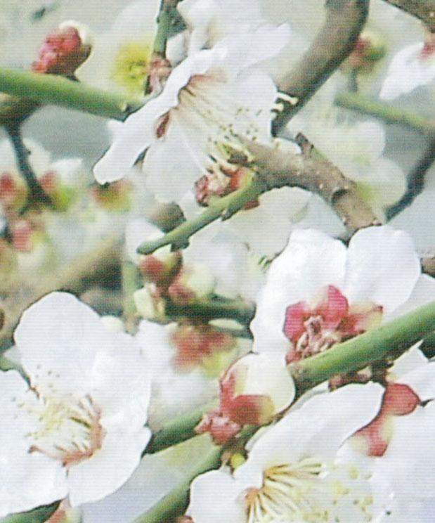 HB-101で素晴らしく咲いています。(鉢植えベランダ栽培で品種は白加賀です)