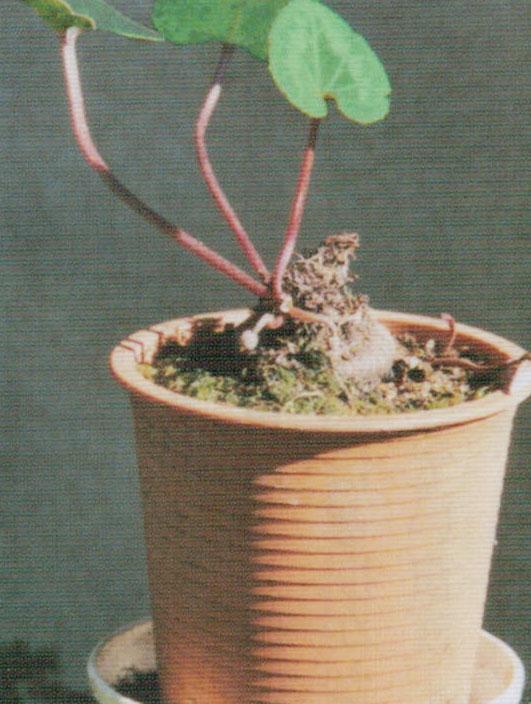 しおれた葉を取りまわしていると次に2個の小さな蕾が出ています。HB-101の力って強いですね。