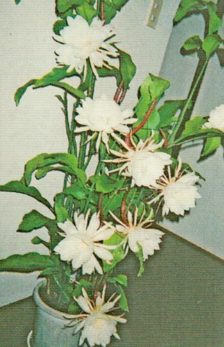 HB-101のおかげで月下美人の花が4日間で18個も咲きました。