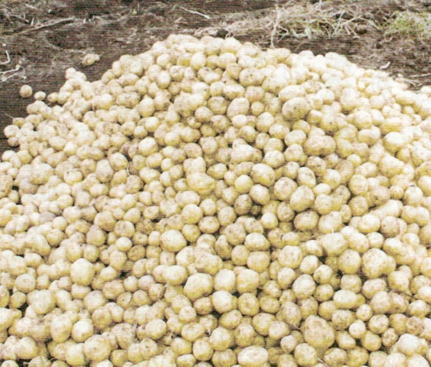 HB-101と顆粒HB-101でジャガイモの味がよくなり、姿が良くなります。