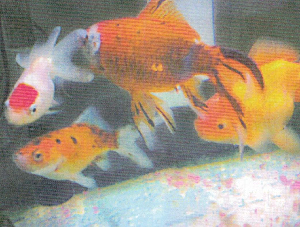 HB-101で金魚はとても元気です。