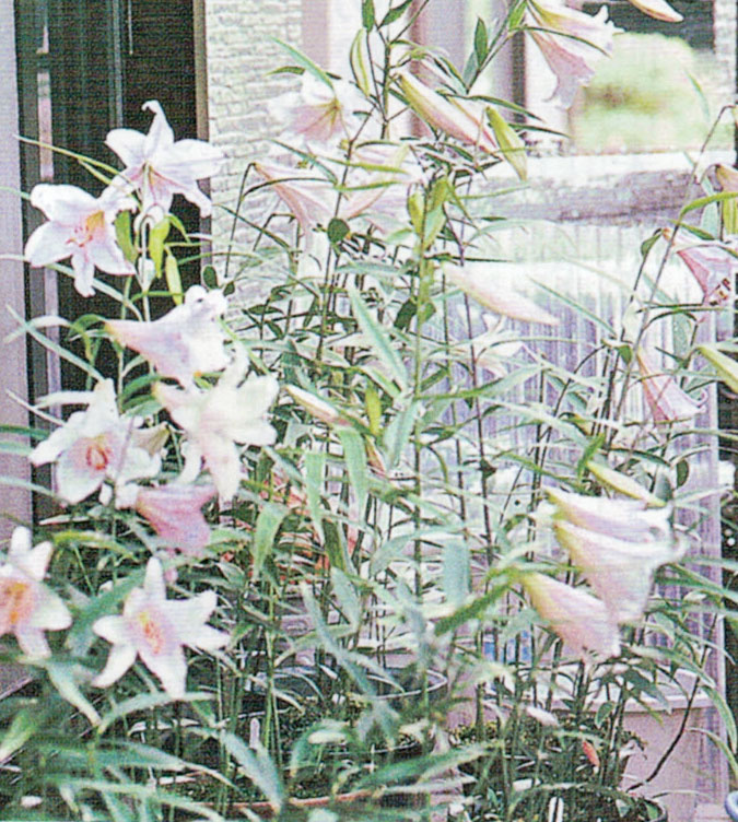 HB-101で笹百合が70輪、80輪と咲いています。