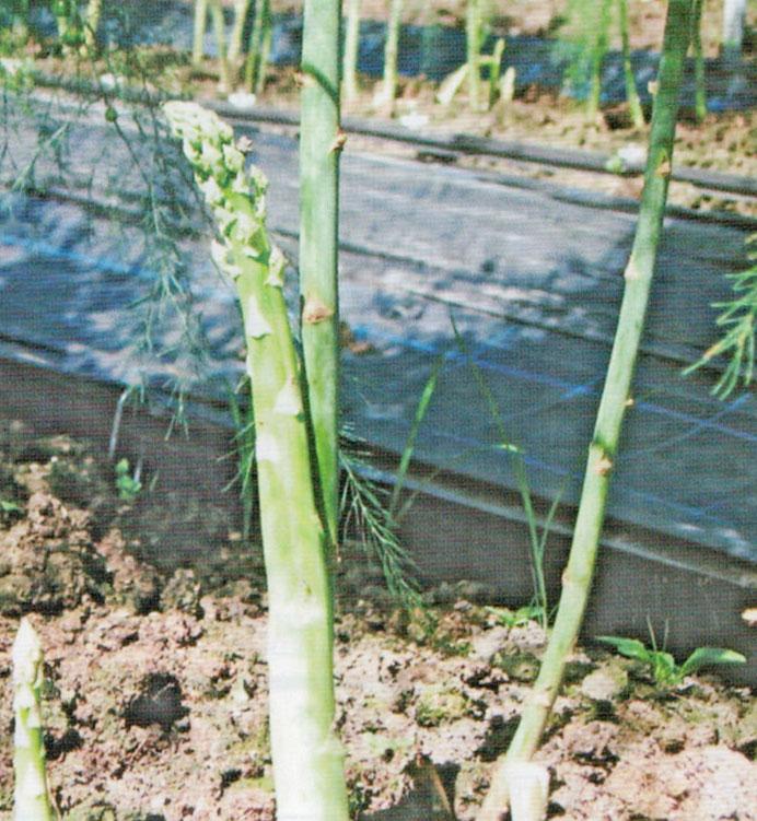 HB-101はアスパラ栽培には絶対に欠かせません。