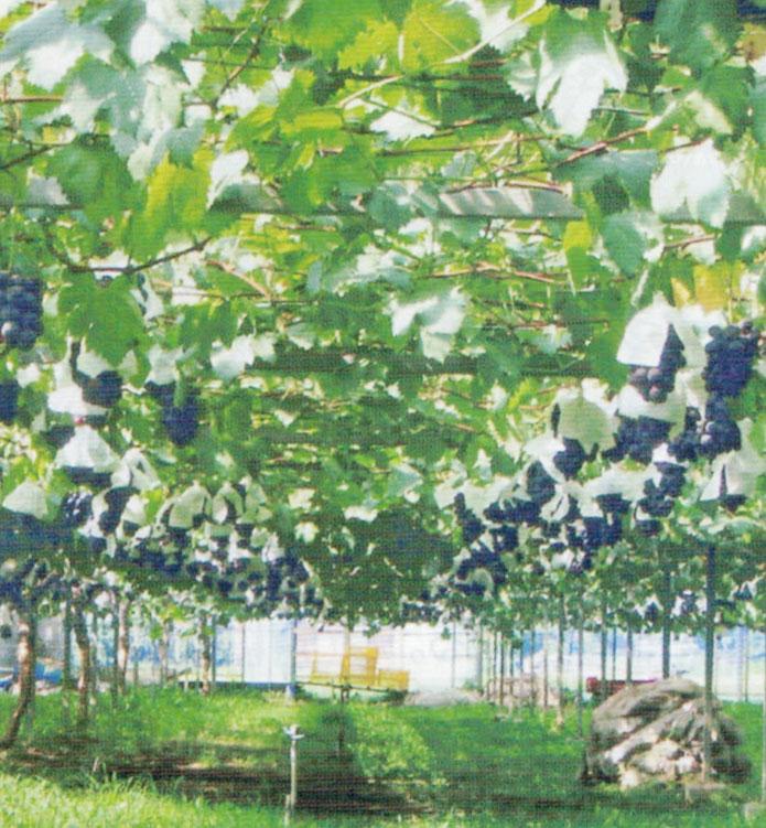 HB-101で樹勢が強く葉の色と艶がとても良いです。