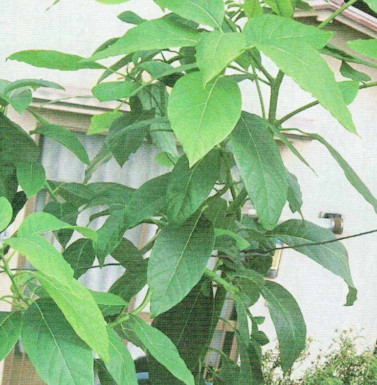 HB-101で栽培しているアボカドの木です。