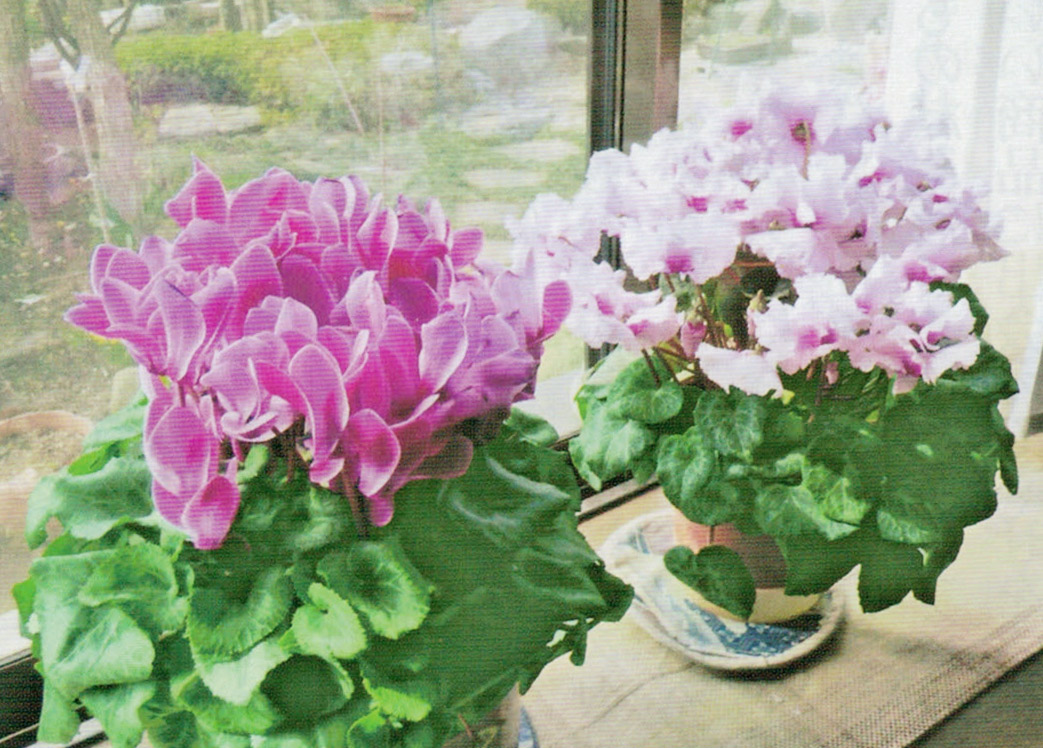 平成23年の10月にいただいたシクラメンがHB-101で咲き続けています。