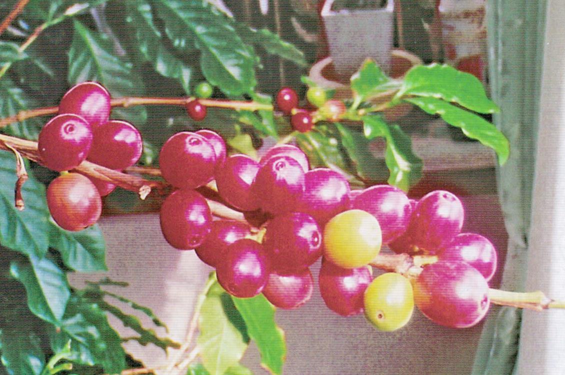 HB-101と白HB-101でコーヒーはブルーマウンテンの味がして清々しいです。