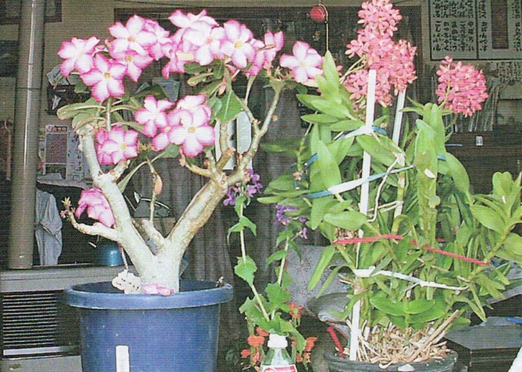 左側がHB-101で平成24年は1月から6月までずっと咲き続けた砂漠のバラです。