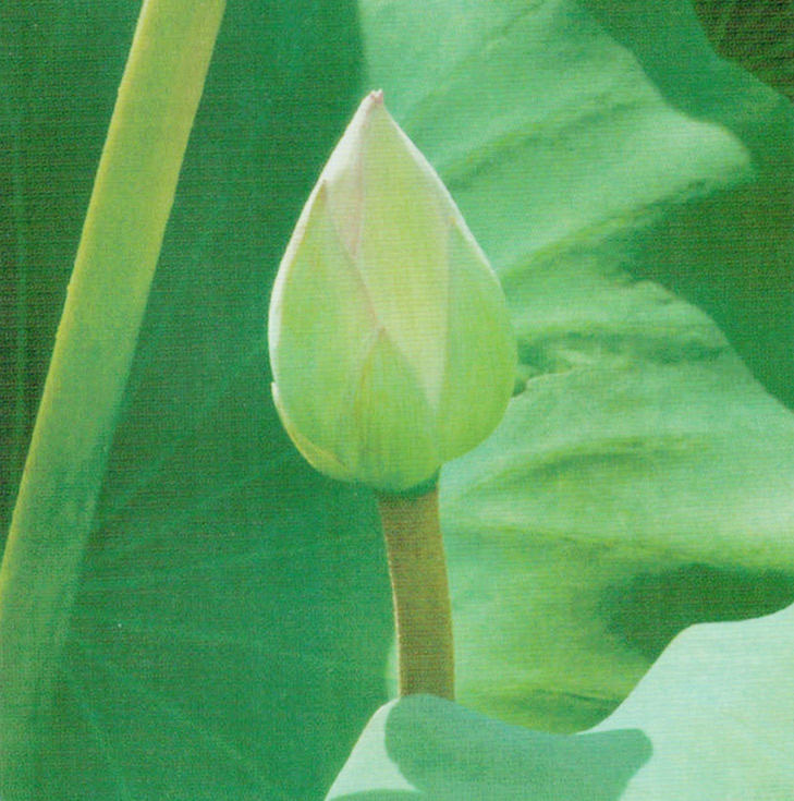 HB-101を使用すると、レンコンの茎は太くて丈夫です。
