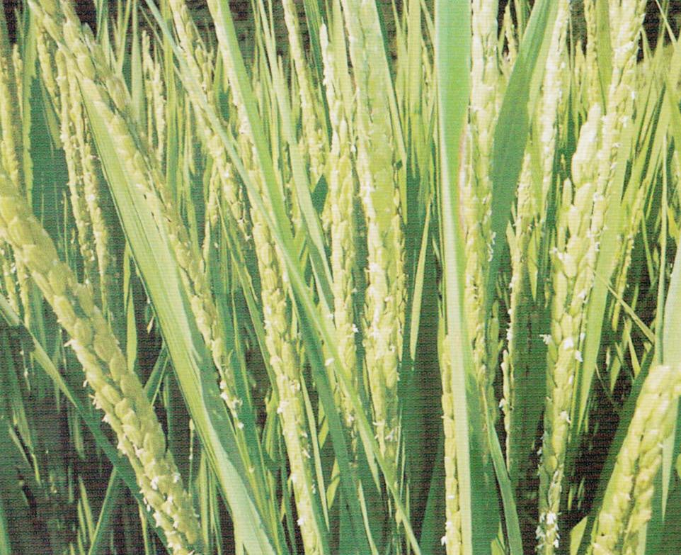 HB-101で稲に健全な花がしっかりついています。