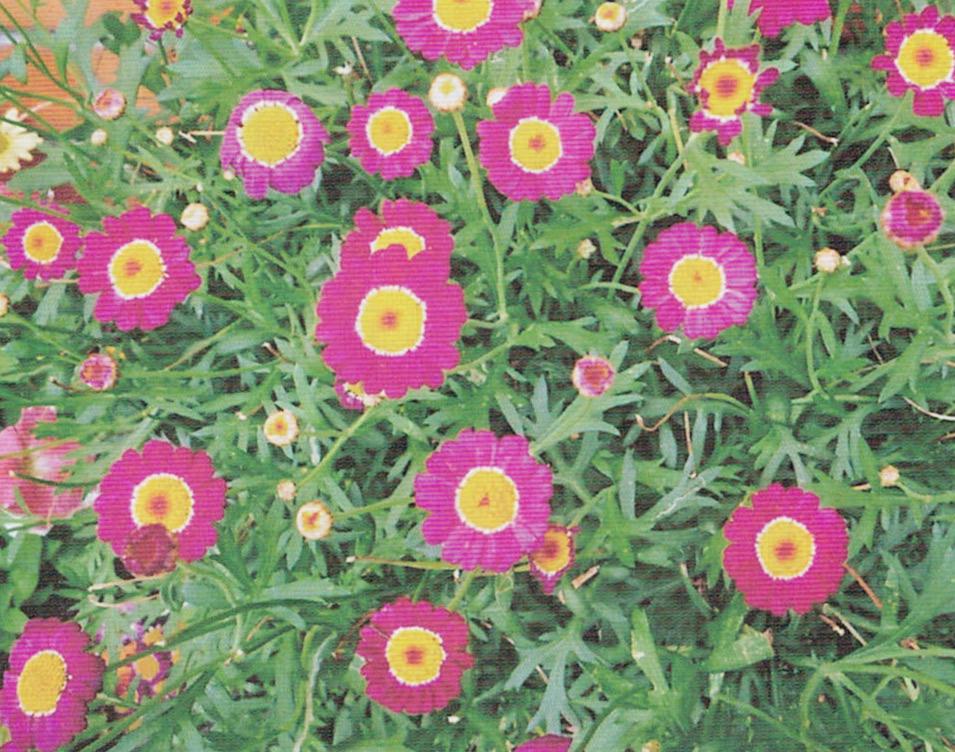 HB-101で生き生きと生長し次から次に花が咲き、害虫はつかず、農薬を使う必要がありません。