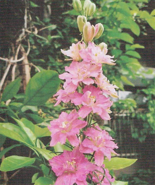 HB-101で育つ花は、葉や茎が丈夫で花色が鮮やかです。