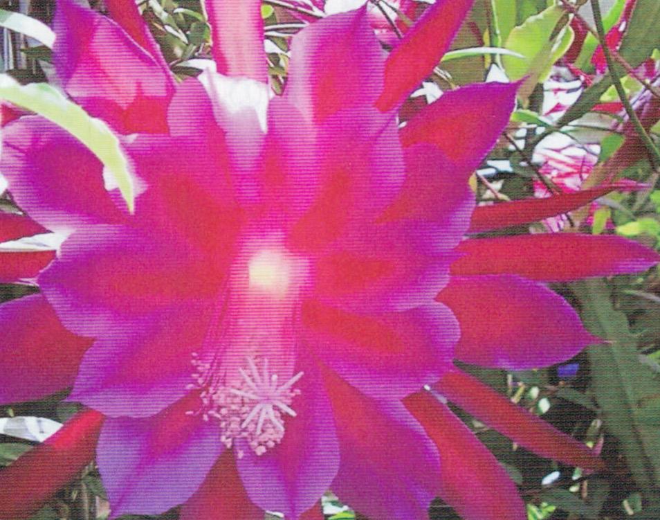 HB-101と顆粒HB-101で月下美人の花が50個も咲きました。