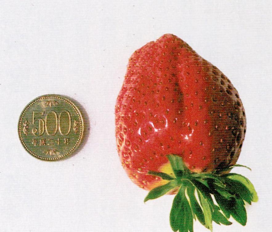この写真はHB-101で1粒が70g以上になったイチゴです。