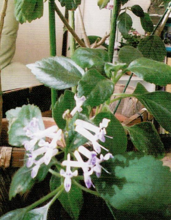 極寒の時期に咲くモナラベンダーはHB-101で幹も葉も丈夫で美しいです。