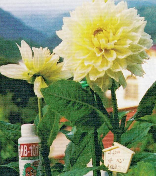ダリアのシーズンにはHB-101は欠かせません。HB-101の千倍液を葉と土と花に散布しています。