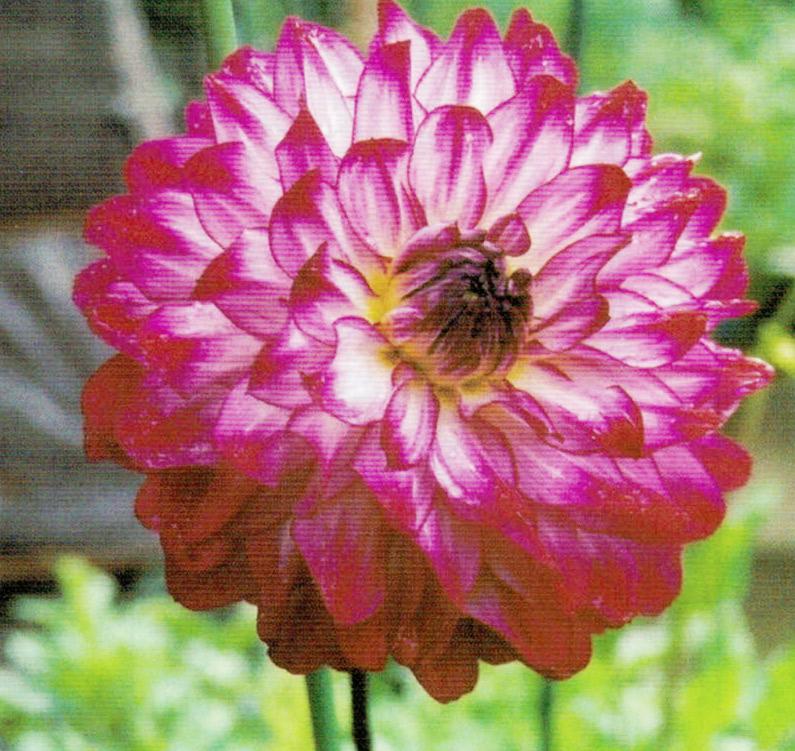 HB-101で美しい花ときれいな色柄のダリアが咲いています。