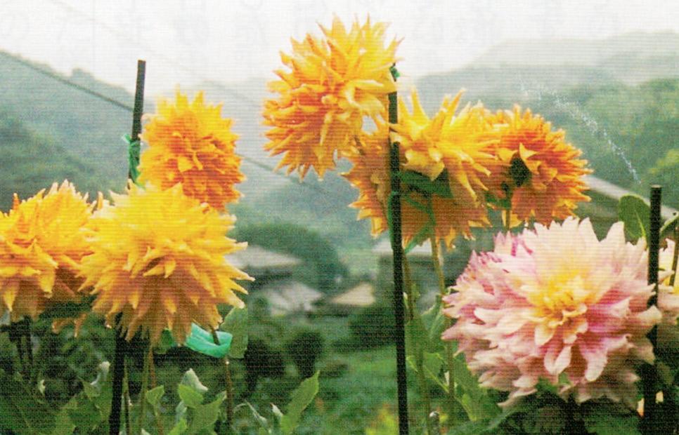 HB-101をずっと使っています。ダリアは7月〜8月上旬に1回目の花が咲きます。そして1回目の花が咲いたあと、30cm位の高さの所でダリアを切り取ると、又、新芽が出て9月中旬ごろから2回目のダリアの花が咲き始め、11月上旬まで咲きます。