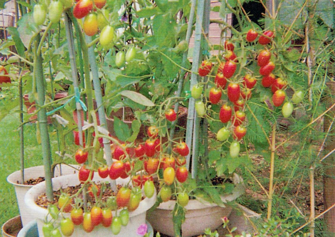 庭のミニトマトがHB-101で良く育ち、なりまくっています。