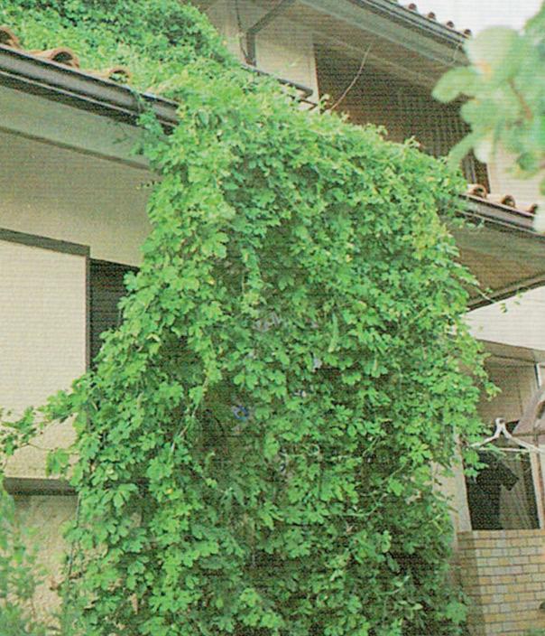 HB-101で美しい緑の葉が横に縦にとぐんぐん伸びて2階のベランダまで達しました。