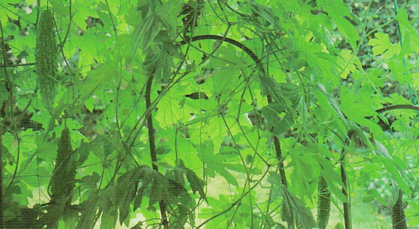HB-101で美しい緑の葉が夏の強い日差しをさえぎり、見事な緑のカーテンとなり、大きな立派なゴーヤが100個くらいも収穫できました。