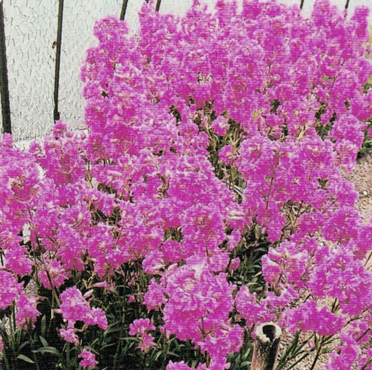 HB-101でたくさんの花を着けています。