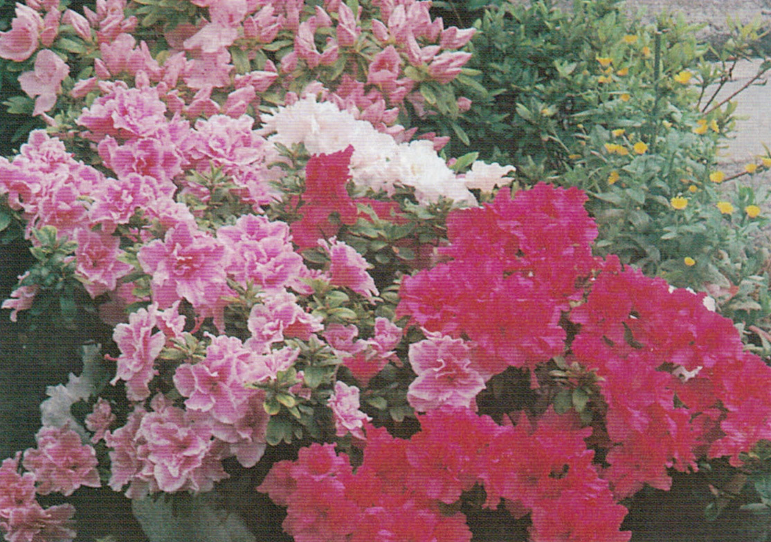 HB-101でみごとにアザレアが咲いています。