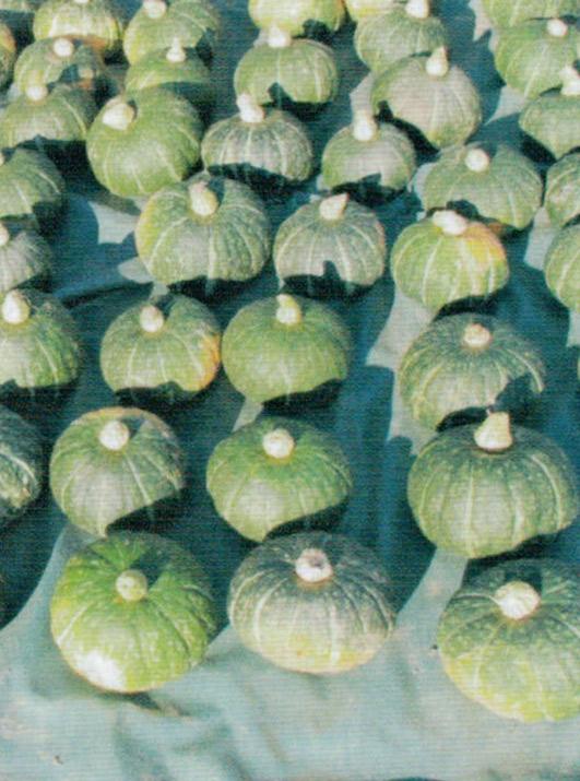 HB-101で甘くておいしく素晴らしいかぼちゃがたくさん収穫出来ました。