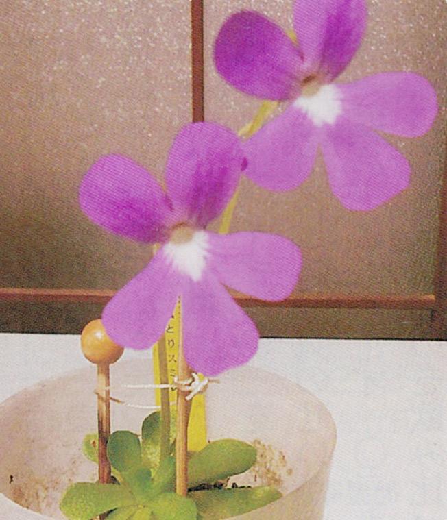 HB-101で奇麗に虫とりスミレの花が咲きました。