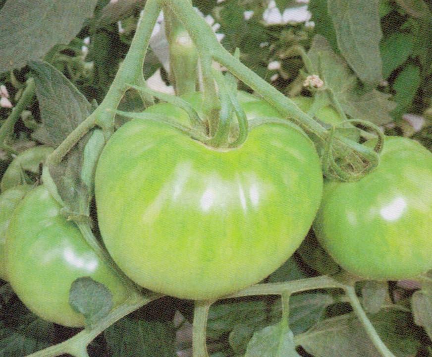 HB-101でトマトの色艶(つや)、香り、形、味が良くなります。HB-101でずっしりと重めのトマトが出来ます。