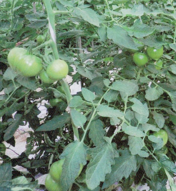 HB-101で根張りが良く、しっかりした茎になります。