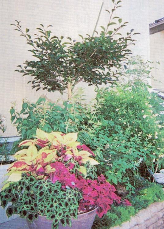 HB-101と顆粒HB-101でコリウスも色鮮やかに咲きました。