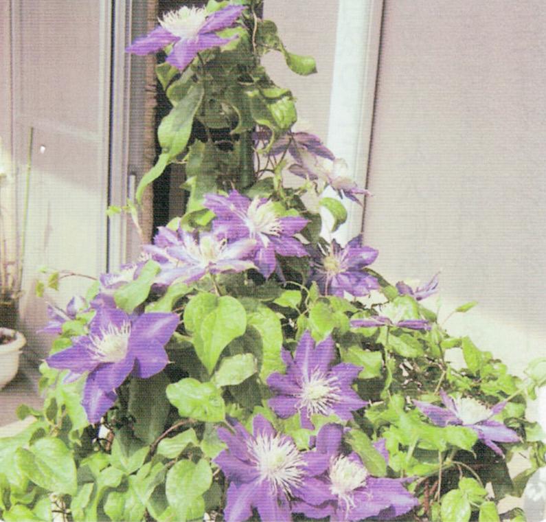 HB-101でてっせんが次々に美しく花を咲かせます。