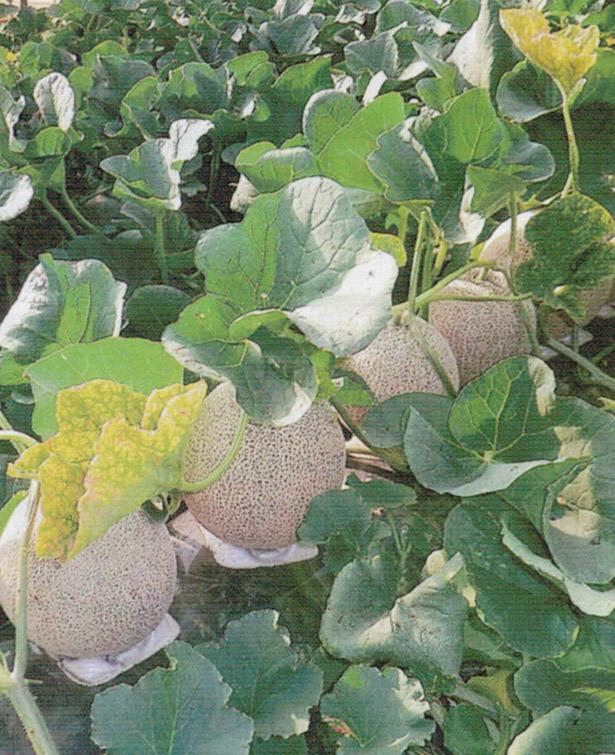 HB-101を葉に吸収させる事で葉に勢いをつける事が出来ます。