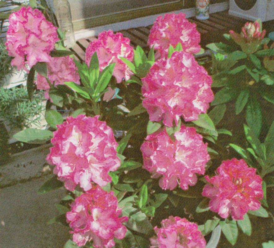 HB-101で15輪の花が咲いた石楠花です。