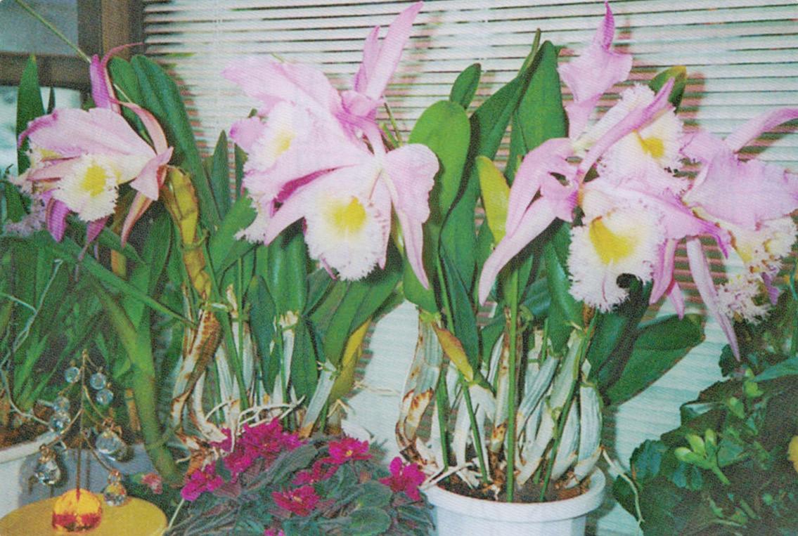 手入れが出来ていないのに、HB-101でたくさんの花を咲かせてくれたカトレアの花です。