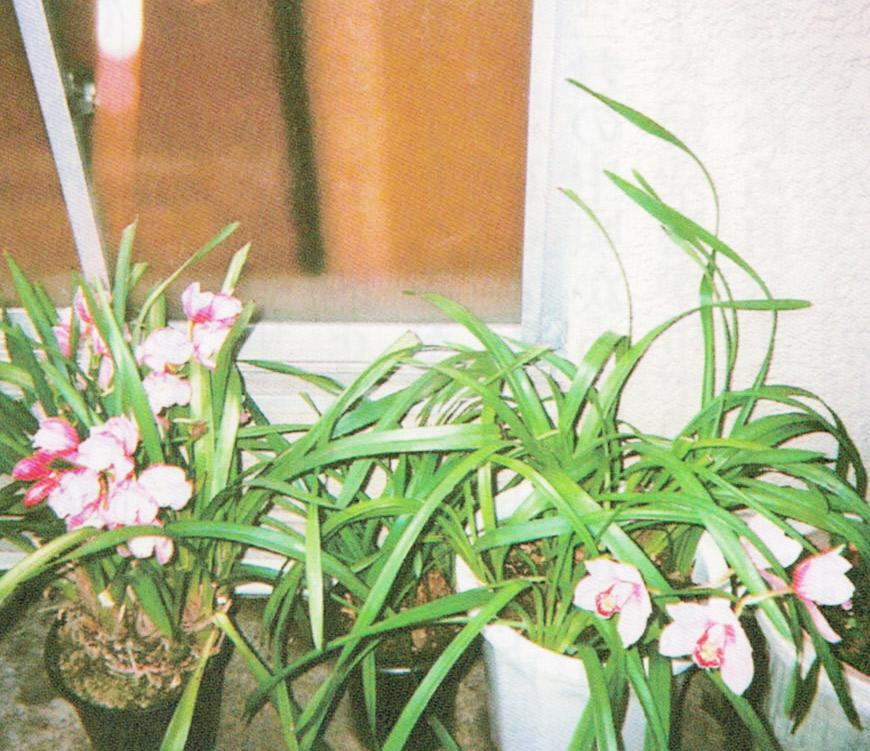 今年のシンビジュームです。HB-101できれいなピンクの花が咲いています。