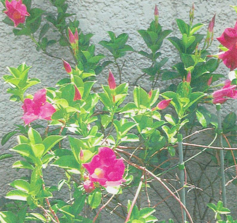 今年のサンパラソルです。HB-101で花が50個ほどつきました。