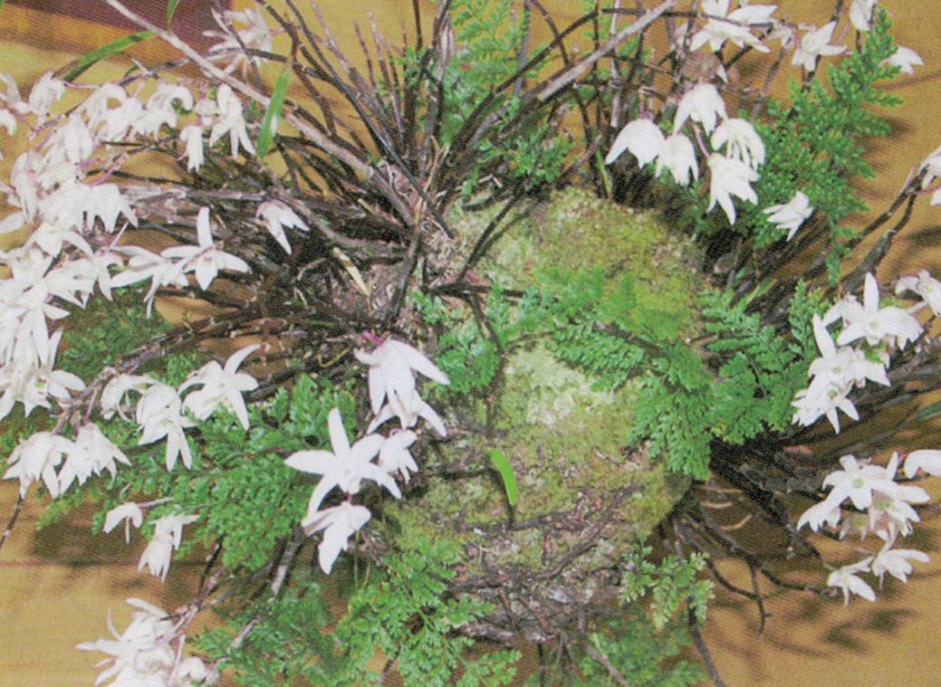 玉にして吊っているセッコクは40年位たった物です。HB-101で毎年花を咲かせてくれます。