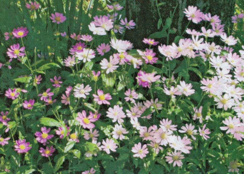 下記の下に植えている都忘れもHB-101で色とりどりに咲き乱れています。