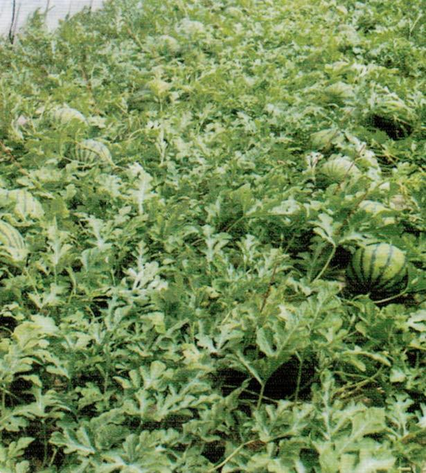 HB-101を永年使用しているので、ハウス内の土壌環境が良く、高品質のスイカが収穫できます。市場関係者が私の畑を見ただけで安心されます。