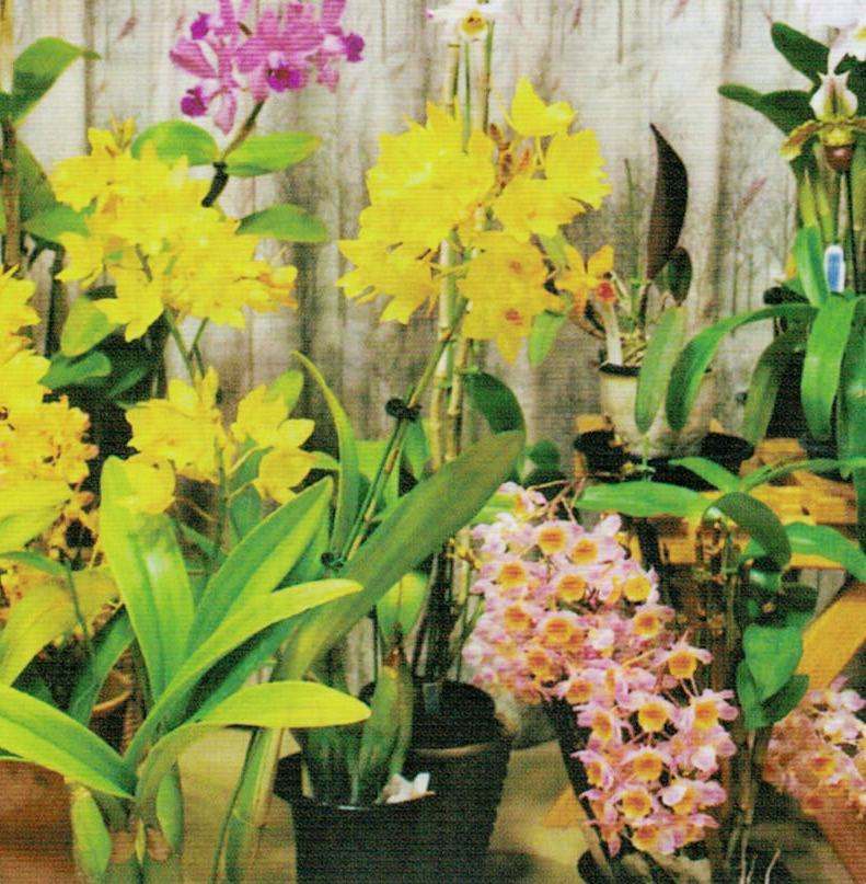 HB-101でランは株が元気で花が大きいです。